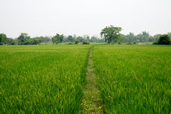 The rice field in Chiang Mai, Thailand. Stock Photo