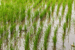 Rice field in Chiangmai , Northen Thailand Royalty Free Stock Image