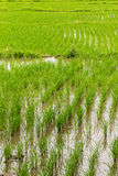 Rice field in Chiangmai , Northen Thailand Stock Images