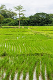 Rice field in Chiangmai , Northen Thailand Stock Image
