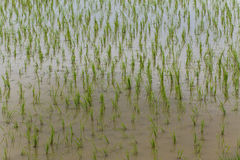 Rice field in Chiangmai , Thailand Royalty Free Stock Photo