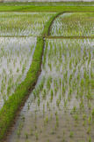 Rice field in Chiangmai , Thailand Stock Images