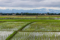 Rice field in Chiangmai , Thailand Royalty Free Stock Photography