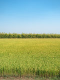 Rice field and clear blue sky. For design with copy space for te Royalty Free Stock Photography