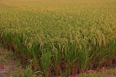 Rice field close to harvest, yellowing both leaves and grain. Major grain food for asian people royalty free stock photo