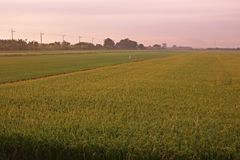 Rice field close to harvest, yellowing both leaves and grain. Major grain food for asian people stock image