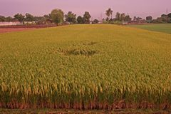 Rice field close to harvest, yellowing both leaves and grain. Major grain food for asian people stock photos