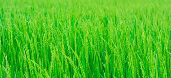 Rice field. Close up rice rice field Stock Image
