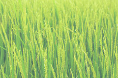Rice field. Close up a rice field Royalty Free Stock Photos