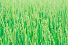 Rice field. Close up a rice field Royalty Free Stock Photography
