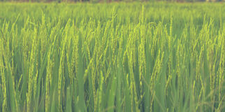 Rice field. Close up of a rice field Stock Photos