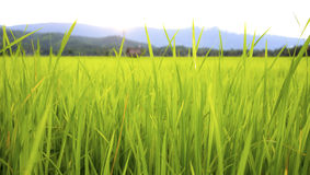 RICE FIELD. Close up of rice field with ears of paddies backgound Stock Photos