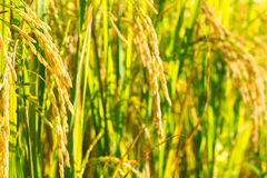 Rice field. Close up gold rice field background Stock Image