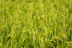 Rice field close up. Stock Photography