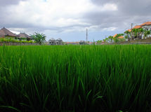 Rice field close up Stock Photo