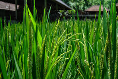 Rice field. Close up. Royalty Free Stock Image