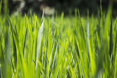 Rice field close-up Royalty Free Stock Photography