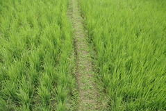 Rice field close up Royalty Free Stock Photos