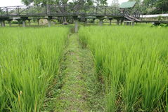 Rice field close up Royalty Free Stock Image