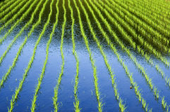 Rice field. Close-up on rice field with small rice plants Stock Image