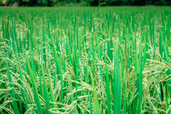 Rice In Field Royalty Free Stock Image