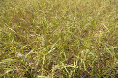 Rice field closeup Royalty Free Stock Photo
