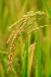 Rice field closeup. stock images