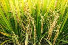 Rice field closeup. royalty free stock image