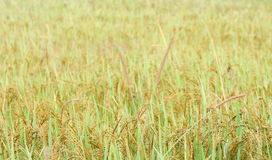 Rice field closeup in Sri Lanka.  Stock Images