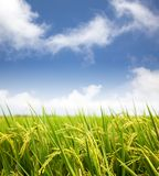 Rice field with cloud Royalty Free Stock Image