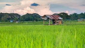 Rice field with cloud Royalty Free Stock Photo