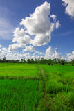 Rice field and cloud Royalty Free Stock Image