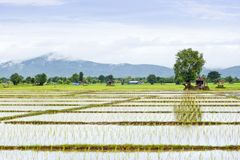 Rice field in cloudy morning Stock Photography