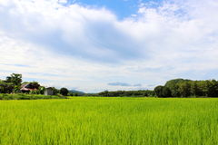Rice field with cloudy sky. Large Rice field with cloudy sky in Thailand Royalty Free Stock Images