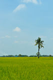 Rice field with coconut on blue sky Stock Image