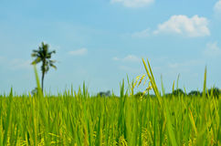 Rice field with coconut and blue sky. Green rice field with coconut on blue sky Royalty Free Stock Photos