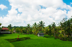 Rice field and coconut palms Stock Photo