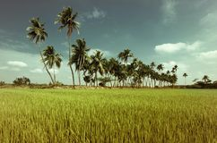 Rice field with coconut palms. India Stock Photos