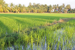 Rice field with coconut tree background. Rice field with coconut tree Rice field with coconut tree background image Stock Images