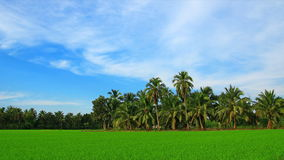 Rice field and coconut tree stock video footage
