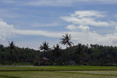 Rice field with coconut trees at background. Rice field with coconut trees at the back and bright blue sky in Indonesia Royalty Free Stock Photography