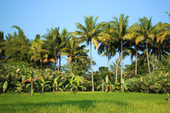 Rice field with coconut trees Royalty Free Stock Images