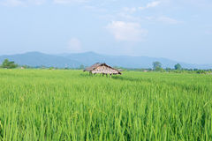 Rice field with cottage Stock Image