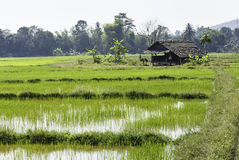 Rice field with cottage Stock Photo