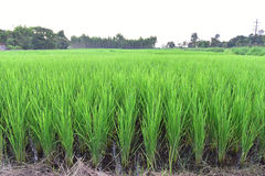 Rice field in the country Royalty Free Stock Image