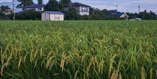 Rice field in countryside in Japan, 08 26 2018. Rice field in countryside in Matsumoto city, Nagano prefecture, Japan, 08 26 2018 Royalty Free Stock Photography