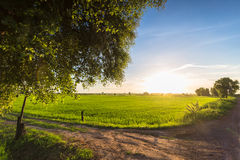 Rice Field in Countryside Royalty Free Stock Photo