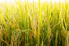 Rice field. Royalty Free Stock Photo