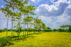 Rice field in countryside of Thailand Stock Photography
