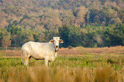 Rice field with the cows in countryside of Thailand. cows are eating rice. rice field after harvested. Cow was eating in the rice field Stock Images